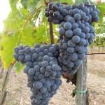 uve-grappoli-orcia